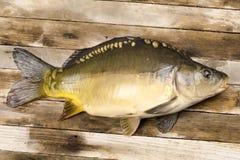 ψάρια κυπρίνων φρέσκα Στοκ εικόνες με δικαίωμα ελεύθερης χρήσης