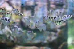 Ψάρια κλωστών Στοκ Εικόνες