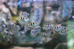 Ψάρια κλωστών Στοκ εικόνες με δικαίωμα ελεύθερης χρήσης