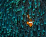 Ψάρια κλόουν αναμονής Στοκ Εικόνες