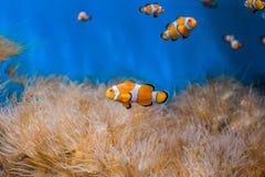 Ψάρια κλόουν και anemones σε ένα μπλε υπόβαθρο Στοκ φωτογραφία με δικαίωμα ελεύθερης χρήσης