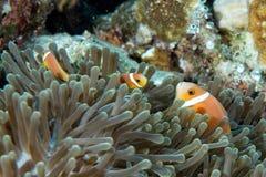 Ψάρια κλόουν μέσα στο πράσινο anemone στο υπόβαθρο σκοπέλων Στοκ Φωτογραφίες