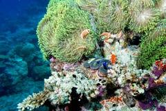 Ψάρια κλόουν μέσα στο πράσινο anemone στο υπόβαθρο σκοπέλων Στοκ εικόνα με δικαίωμα ελεύθερης χρήσης