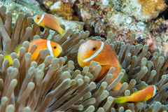 Ψάρια κλόουν μέσα στο πράσινο anemone Στοκ φωτογραφία με δικαίωμα ελεύθερης χρήσης