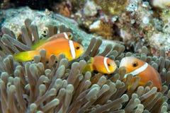 Ψάρια κλόουν μέσα στο πράσινο anemone Στοκ Φωτογραφία