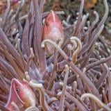 Ψάρια κλόουν μέσα στο πράσινο anemone Στοκ Εικόνες