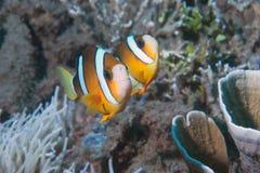 Ψάρια κλόουν μέσα στο πράσινο anemone Στοκ εικόνες με δικαίωμα ελεύθερης χρήσης