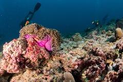 Ψάρια κλόουν μέσα στο ρόδινο πορφυρό anemone με το δύτη Στοκ Φωτογραφία