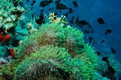 Ψάρια κλόουν με τις νεολαίες του στην περιοχή anemone Στοκ Εικόνα