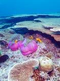 Ψάρια κλόουν που τοποθετούνται σε πορφυρό Anemones Στοκ Εικόνες