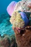 Ψάρια κλόουν που τοποθετούνται σε πορφυρό Anemones Στοκ Φωτογραφίες