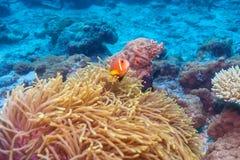 Ψάρια κλόουν που τοποθετούνται σε πορφυρό Anemones Στοκ Εικόνα