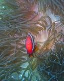 Ψάρια κλόουν που υπερασπίζουν την τύρφη του Στοκ εικόνες με δικαίωμα ελεύθερης χρήσης