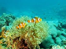 Ψάρια κλόουν σε Anemone στην Ταϊλάνδη Στοκ Φωτογραφίες