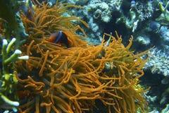 Ψάρια κλόουν στη φθορισμού πορτοκαλιά θάλασσα Anemone από Padre Burgos, Leyte, Φιλιππίνες Στοκ φωτογραφία με δικαίωμα ελεύθερης χρήσης