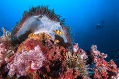 Ψάρια κλόουν στους βράχους anemone θάλασσας κάτω από την μπλε θάλασσα Στοκ εικόνα με δικαίωμα ελεύθερης χρήσης