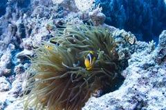 Ψάρια κλόουν στο ακτηνία στοκ εικόνες