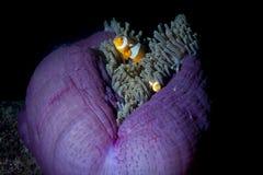 Ψάρια κλόουν στο anemone με τις γαρίδες σε Raja Ampat Παπούα, Indonesi Στοκ Φωτογραφίες