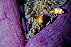 Ψάρια κλόουν στο anemone με τις γαρίδες σε Raja Ampat Παπούα, Indonesi Στοκ εικόνα με δικαίωμα ελεύθερης χρήσης