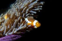Ψάρια κλόουν στο anemone στο μαύρο υπόβαθρο Στοκ εικόνες με δικαίωμα ελεύθερης χρήσης