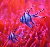 Ψάρια κλόουν ύπνου Στοκ Εικόνες