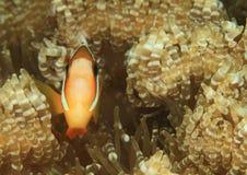 Ψάρια - κλόουν anemonfish Στοκ Εικόνα