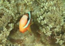 Ψάρια - κλόουν anemonfish Στοκ εικόνα με δικαίωμα ελεύθερης χρήσης