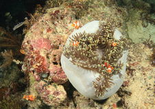 Ψάρια - κλόουν anemonfish Στοκ Φωτογραφία