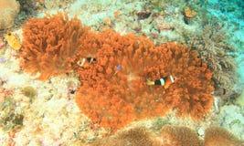 Ψάρια - κλόουν anemonfish Στοκ φωτογραφία με δικαίωμα ελεύθερης χρήσης