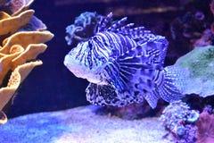 Ψάρια λιονταριών στη Ερυθρά Θάλασσα στοκ εικόνες