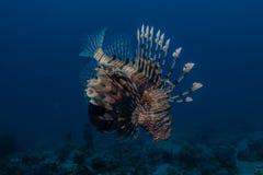 Ψάρια λιονταριών στη Ερυθρά Θάλασσα στοκ φωτογραφία με δικαίωμα ελεύθερης χρήσης