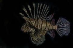 Ψάρια λιονταριών στη Ερυθρά Θάλασσα στοκ εικόνα