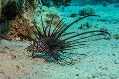 Ψάρια λιονταριών στη Ερυθρά Θάλασσα στοκ φωτογραφίες
