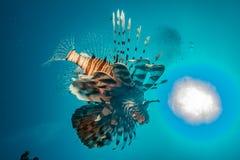 Ψάρια λιονταριών στη Ερυθρά Θάλασσα στοκ εικόνες με δικαίωμα ελεύθερης χρήσης