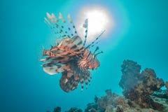 Ψάρια λιονταριών στη Ερυθρά Θάλασσα στοκ φωτογραφία