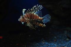Ψάρια λιονταριών Adas στοκ εικόνα με δικαίωμα ελεύθερης χρήσης