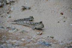 Ψάρια μαγγροβίων mudskipper που ζουν στο δυτικό Μπαλί Στοκ Φωτογραφίες