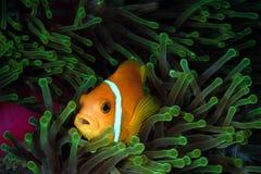 ψάρια Μαλβίδες anemone Στοκ φωτογραφίες με δικαίωμα ελεύθερης χρήσης