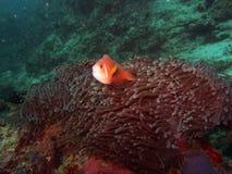 ψάρια Μαλβίδες anemone amphiprion Στοκ Εικόνα