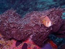ψάρια Μαλβίδες anemone amphiprion nigripes Στοκ Φωτογραφίες