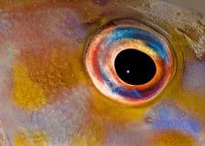 ψάρια ματιών στοκ φωτογραφία με δικαίωμα ελεύθερης χρήσης