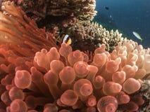 Ψάρια Μαλβίδες Anemone Στοκ Εικόνες