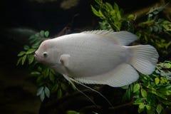 Ψάρια με ένα μεγάλο μέτωπο στοκ φωτογραφίες