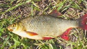 Ψάρια με τα κόκκινα πτερύγια στη χλόη απόθεμα βίντεο