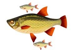 Ψάρια με τα κόκκινα πτερύγια Απεικόνιση αποθεμάτων