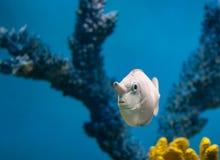 Ψάρια μονοκέρων Στοκ φωτογραφία με δικαίωμα ελεύθερης χρήσης