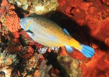 Ψάρια - μπλε-επισημασμένος καπνιστής Στοκ φωτογραφία με δικαίωμα ελεύθερης χρήσης