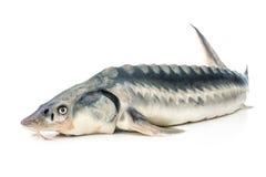 Ψάρια οξυρρύγχων στοκ εικόνες