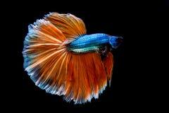 ψάρια πάλης που απομονώνονται στο μαύρο υπόβαθρο Ψάρια Betta στοκ εικόνες