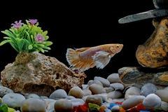 Ψάρια πάλης, σιαμέζα ψάρια, σε μια δεξαμενή ψαριών που διακοσμείται με τα χαλίκια και τα δέντρα, μαύρο υπόβαθρο στοκ εικόνες